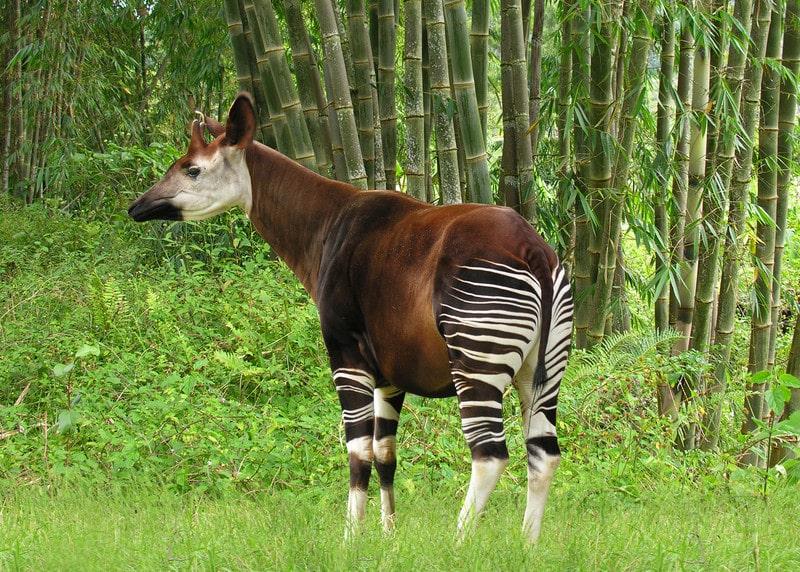 okapi forest giraffe