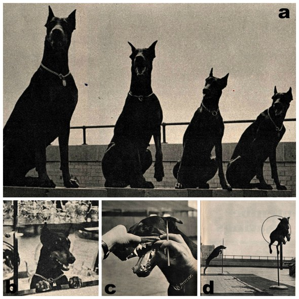 Doberman History | Macy's Security