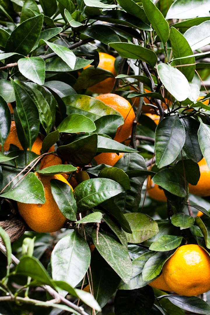 Satsuma Tree | for the love of the south