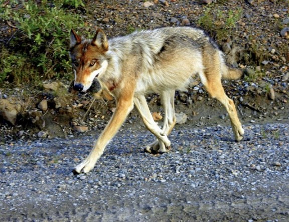 Denali National Park: Wolf