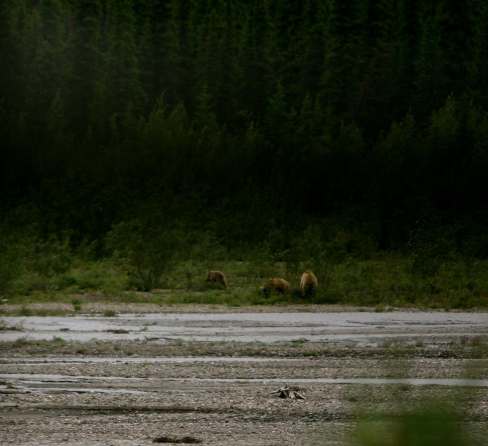 Denali National Park: Grizzlies