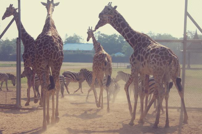 Ungulates-Safari-Park-Giraffes-3
