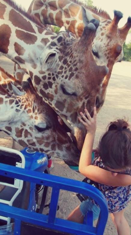 Ungulates-Safari-Park-Giraffes-5