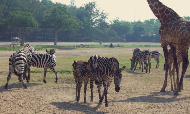 Ungulates-Safari-Park-Zebra