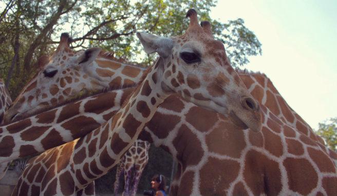 Ungulates-Safari-Park-Zoo-Giraffes