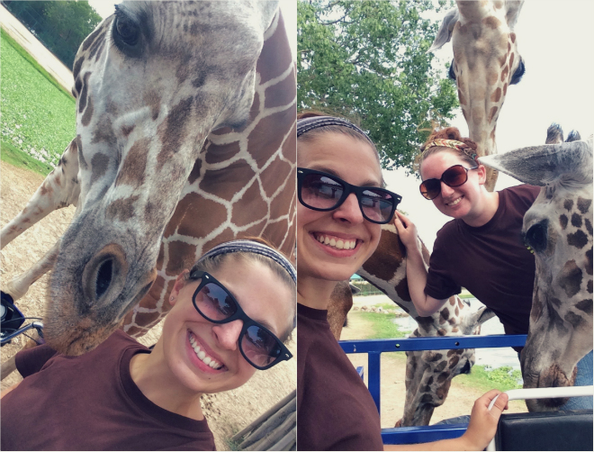ungulates-safari-park-giraffes-9