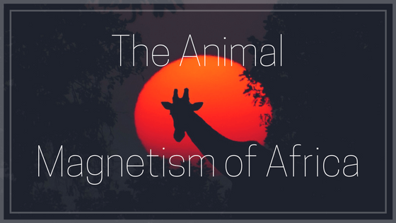The Animal Magnetism Of Africa
