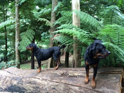Amos and Abby on the fallen tree. Fallen trees will feature prominently in the next post, but for the dogs it's a combination gymnasium and kennel (full of sawdust).