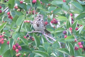 downy serviceberry with song sparrow
