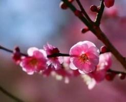 2月の誕生花!梅を大切な人に贈る時の6のポイント