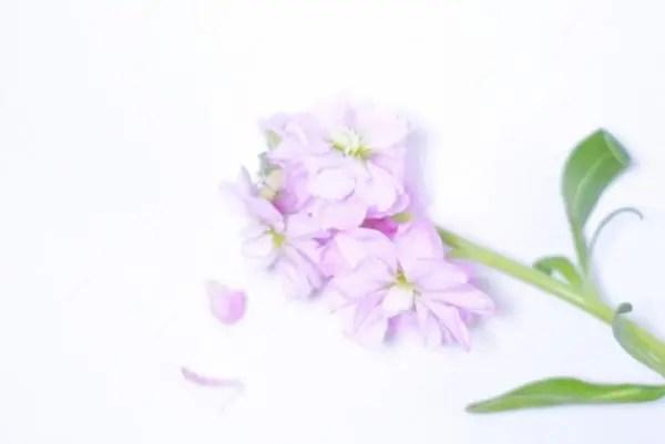 幸せな花言葉⑤愛を確かめる時に贈るストック