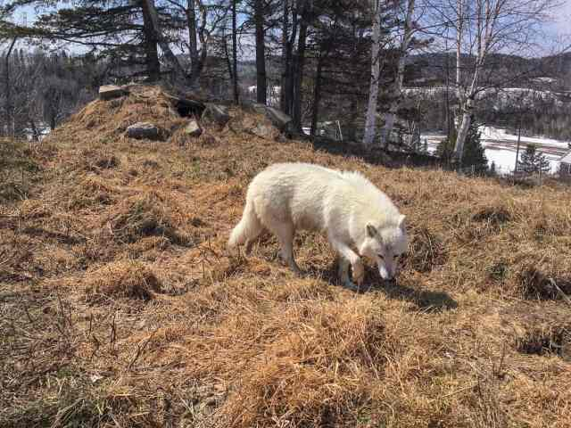 Crazy Bucket List Ideas Wolf Encounter Quebec Canada