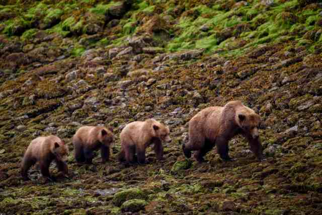 Grizzlies in the Khutzeymateen Grizzly Bear Sanctuary