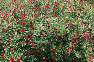 A photo of a rose bush