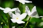 Jasmine - For Grace and Elegance