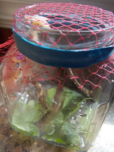 1 Jar - twigs, clover, roughage scraps (lettuce, kale, etc), a dot of water, a rubber band to hold-tight-the-net-topper...and Voila!