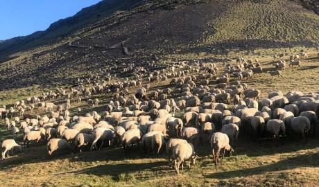 Un ramat d'ovelles