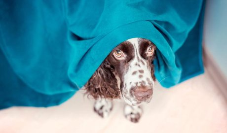 gos amb ansietat amagat sota un lli