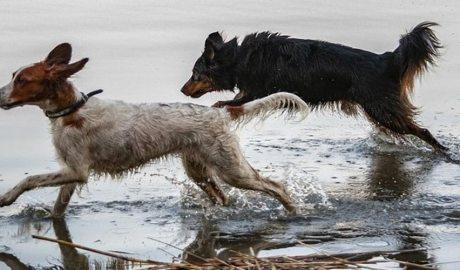 Gos mestís i gos de raça