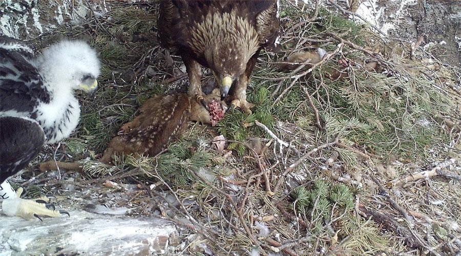 Una àguila daurada i un poll menjant cabirol al niu