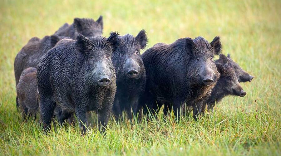 Un grup de porcs senglars