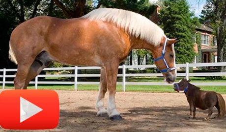 el cavall més petit del món