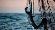 Pesca de tauró amb xarxa