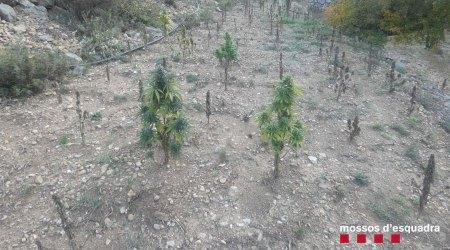 PLantació de marihuana a Fígols i Alinyà