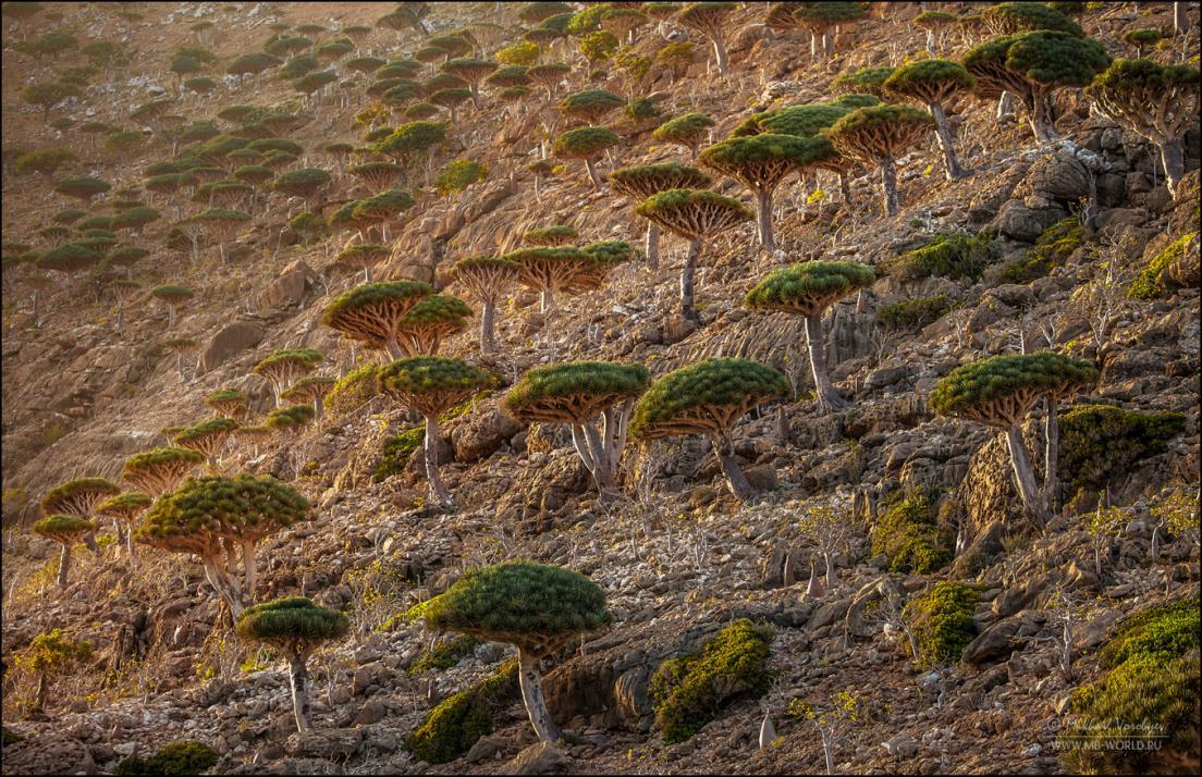 Драконовые деревья острова Сокотра 20