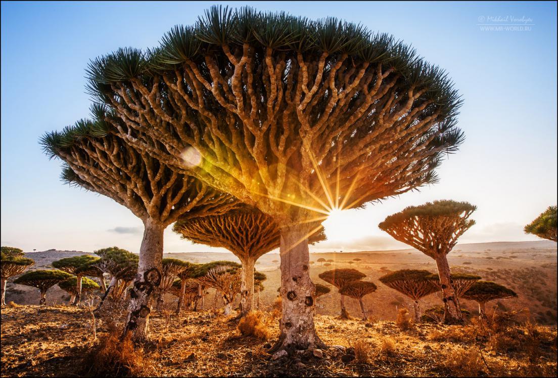 Драконовые деревья острова Сокотра 16