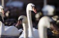 LEDA'S LONGING - A Swan Film