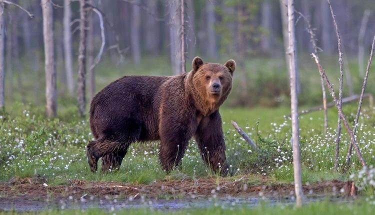 Kilőttek egy garázda medvét Petrozsényban