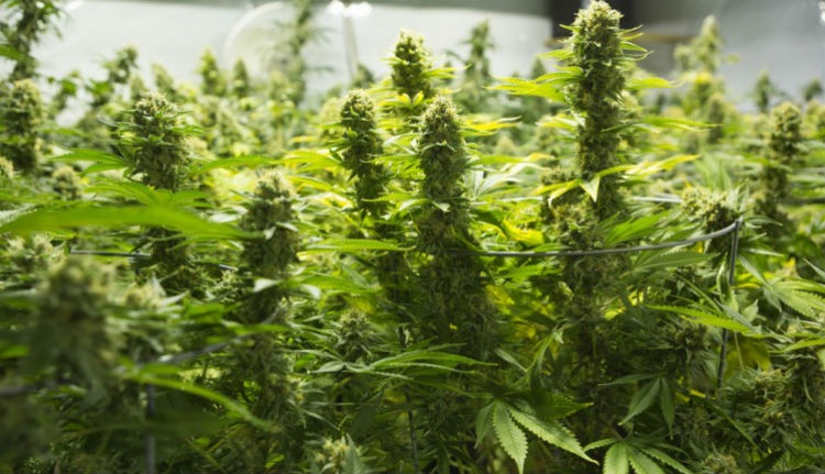 Hatalmas marihuánafogás Kolozs megyében