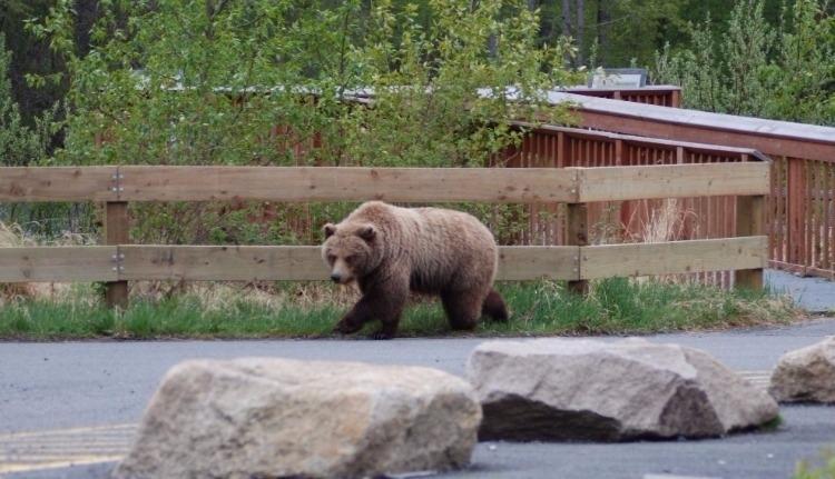 Uniós pénzből számolhatják meg a romániai medvéket