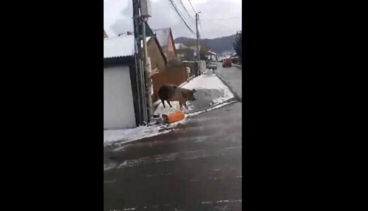 Disznó garázdálkodott Szászfenesen (VIDEÓ)