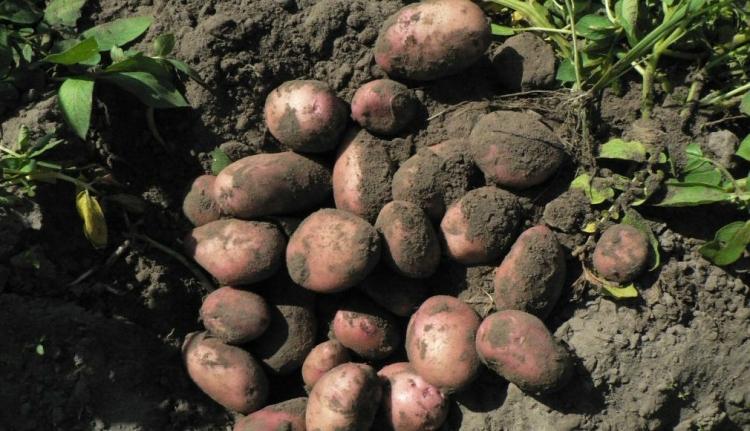 Ha ez így megy tovább, nem csak a szarvasgomba lesz luxus, hanem a krumpli is