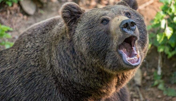 Megint kórházba juttatott egy embert a medve Erdélyben