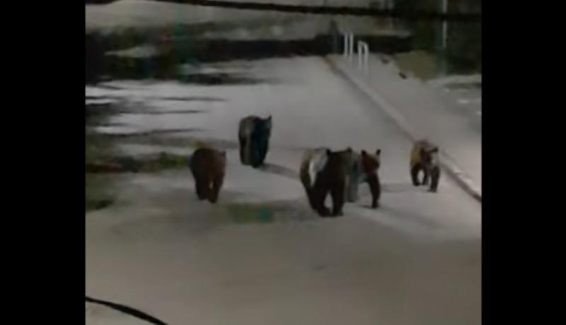 Megelégelték a lakosok, hogy éjszakánként egy öttagú medvecsalád portyázza végig a sinaiai kukákat (VIDEÓval)