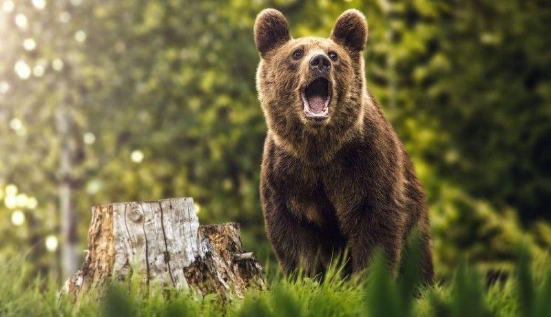 Kórházba juttatott egy embert a medve a Székelyföldön