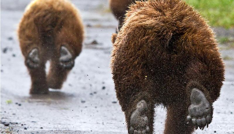 A kormány rábólintott: mostantól el lehet bánni a veszélyes medvékkel