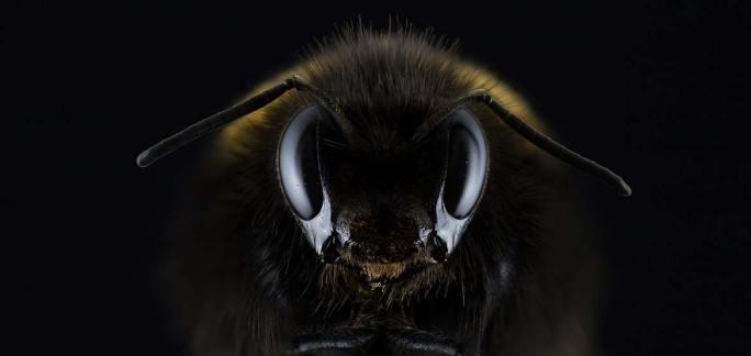 Makroaufnahmen von Insekten Hummel