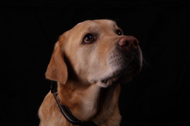 Labrador Retriever Hundefoto Portrait im Mostviertel