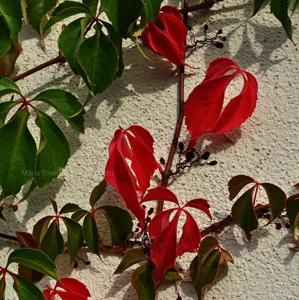 Záber zelených a červených listov paviniča stelúceho sa po bielej stene.