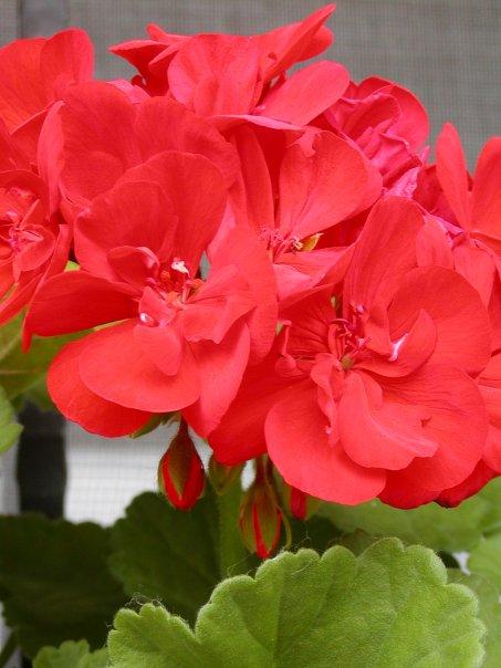 Červený kvet muškátu