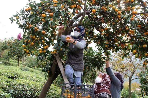 rize de mandalina hasadi basladi 2 13778154 o - Rize'de mandalina hasadı başladı