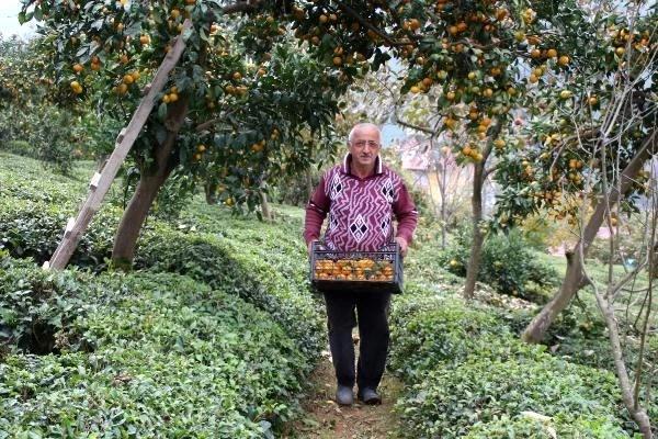 rize de mandalina hasadi basladi 8 13778154 o - Rize'de mandalina hasadı başladı