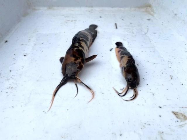İstilacı balıklar Eskişehir'de görüldü! Önlem alınmazsa doğaya ve canlılara zarar verecek