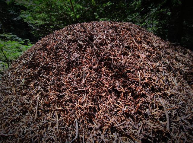 Uludağ'da boyu 1 metreyi bulan dev karınca yuvaları hayrete düşürüyor, görenler telefona sarılıyor
