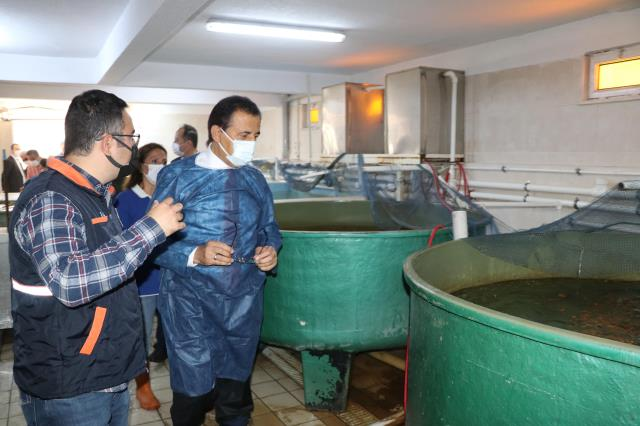 Bolu Valisi Ahmet Ümit, sazan balığı sağımı yaptı