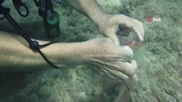 Su altında hayalet ağa takılan gül yengeci böyle kurtarıldı